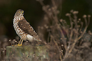 Hawk stops to take a look around on a stump in Palo Alto, California.