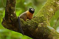 Golden-mantled Tamarin (Saguinus tripartitus) at the Tiputini Biodiversity Station, Orellana Province, Ecuador