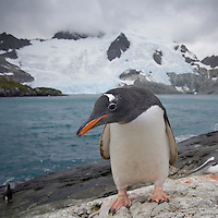Antarctica, South Georgia Island (UK), Gentoo Penguins (Pygoscelis papua)  on rocky shoreline along Smaaland Cove on summer afternoon