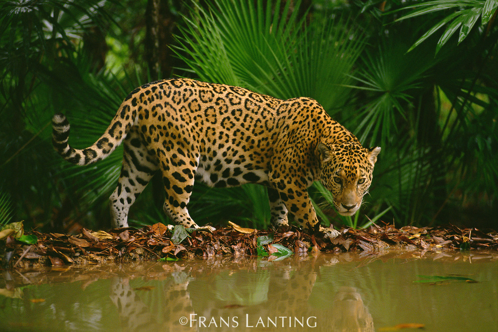 Jaguar at waterhole, Belize