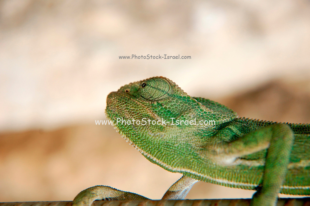 close up of a chameleon, side view