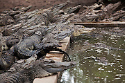A crocodile farm in the Cambodian province of Kompong Speu. With around 1000 animals occupying only 3 pens, farms like this supply the demand for crocodile skin. Interbreeding hybrids is rampant to increase crocodile sizes. Only taking DNA samples of all the crocodiles here could determine the presence of true 'pure-bred' Siamese Crocodiles mixed up here with all the others..The 21st century was a good year for the Siamese Crocodile. In 2000 after being declared extinct in the wild they were 're-discovered' in the remote Cardamon Region of Cambodia. Then in June 2010 a nest of eggs was found by a team run by Fauna and Floras International (FFI), a British NGO, one of the world's oldest. 15 eggs were taken to safety and 10 successfully hatched in a 'fake' nest guarded by FFI staff. .Since that 2000 discovery much work has been done to find and research this critically endangered reptile. It is now believed that around 250 Siamese Crocodile are alive in the wild, the majority of which are in the Cardamon Mountains, down from tens of thousands before man started hunting them and encroaching on their habitat. .After successfully doing DNA tests to find 'pure blood' Siamese Crocs rather than those who have been cross-bred they plan to work with a breeding centre that will lead to the crocodiles being released back in to the wild.