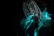Warty comb jelly or sea walnut (Mnemiopsis leidyi) is a bioluminescent  comb jelly (ctenophore) | Meerwalnuss (Mnemiopsis leidyi) ist eine Rippenquallen (Ctenophora). Bei Berührung produziert diese Rippenquallen durch Biolumineszenz blaugrünes Licht. Vermutlich diehnt es zur abwehr von Freßfeinden. Ostsee, Kiel, Deutschland