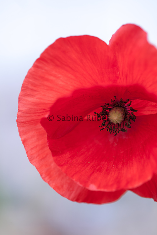 Papaver rhoeas - common poppy