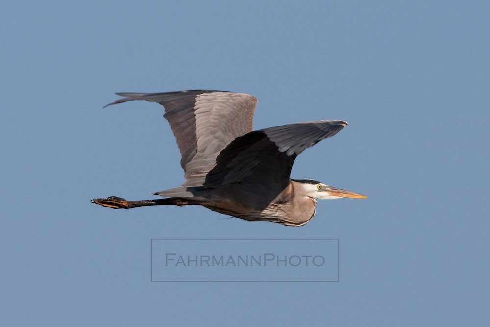 A Great Blue Heron in Flight above a pond near Lake Nokomis