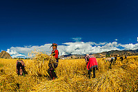 Harvesting barley, Tibet (Xizang), China.