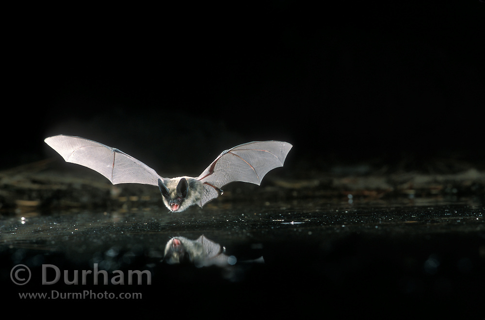 A fringed bat (Myotis Thysanodes) flying above a pond in the high-desert of Central Oregon. This bat is very similar to Mytois evotis and is distinguished by the fringe on its tail membrane. Near Fort Rock State Monument, Dechutes National Forest, Oregon.