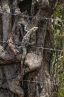 Iguana climbing barbed wire in Cost Rica