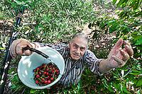 Rutigliano - maggio, racccolta delle ciliegie