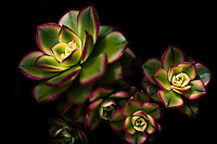 "A cluster of Echeveria pulidonis, commonly known as ""hens and chicks"""