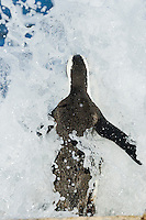 An African Penguin braces as a breaking wave crashes over it, Bird Island, Algoa Bay, South Africa