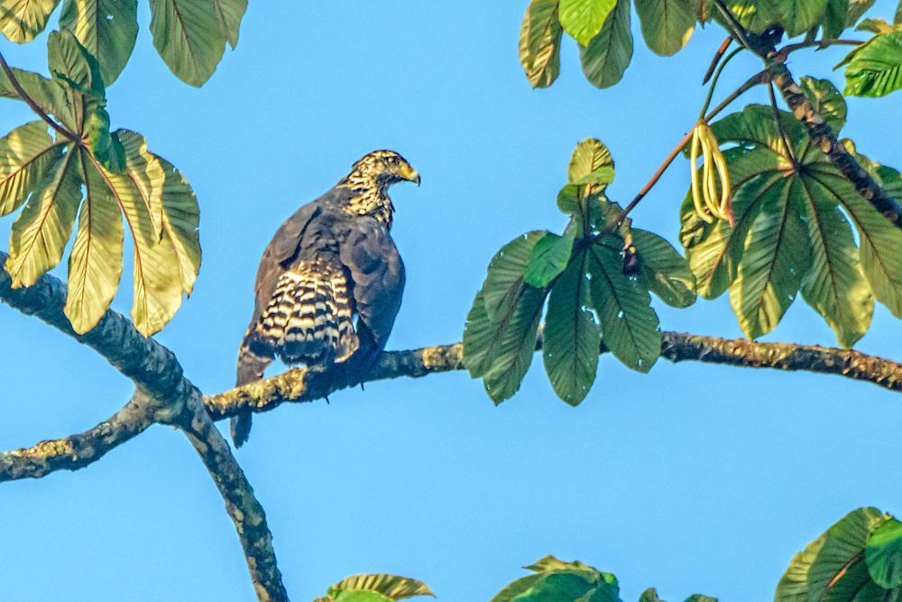 Mangrove Black-Hawk - Buteogallus subtillis sitting on a branch