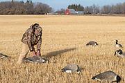Canada Goose, Branta canadensis, Hunting, wheat field, Saskatchewan, Canada