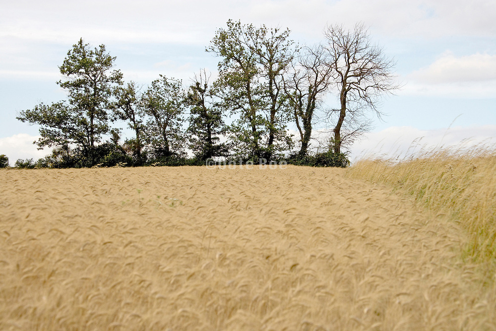 field with wheat and a line of trees