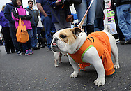 An english bulldog name d Lucy walks through the Autumn Alive Festival Saturday October 17, 2015 at Ferry Street Park in Quakertown, Pennsylvania.  (Photo by William Thomas Cain)