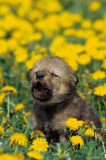Gray Wolf, (Canis lupus) Young pup in field of dandelions. Montana.  Captive Animal.