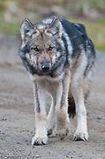 Wolves in Denali National Park, Fall, Alaska