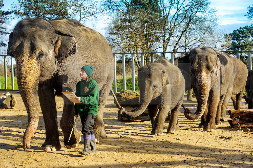 &copy; Licensed to simonjacobs.com. 07/01/2014 Whipsnade, UK.  A keeper counts the Asian elephants, including the latest addition to the herd, 3 month old Max during the annual stocktake at Whipsnade Zoo.<br /> Home to more than 2,500 animals zookeepers take stock of every invertebrate, bird, fish, mammal, reptile, and amphibian.<br /> The compulsory count is required as part of the zoo&rsquo;s license, the results are logged and the data is shared with zoos around the world to manage international breeding programmes. Photo credit : Simon Jacobs