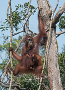 A female adult Bornean orangutan with an infant hanging from her swings through the forest canopy in Tanjug Putin National Park in Indonesia.