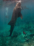 Whale sharks in the Philippines gather as they are feed by locals for viewing by tourists, and divers.