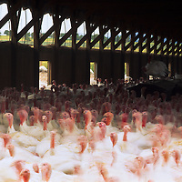 Thousands of curious turkeys destined for dinner plates live in a chaotic environment, Utah