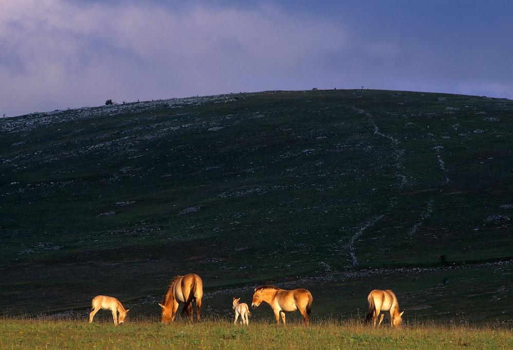France, Languedoc Roussillon, Lozère, Causse Méjean, Le Villaret, chevaux de Przewalski, ( Association TAKH )