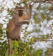 Vervet Monkey (Chlorocebus pygerythrus) from Queen Elizabeth National Park, Uganda.