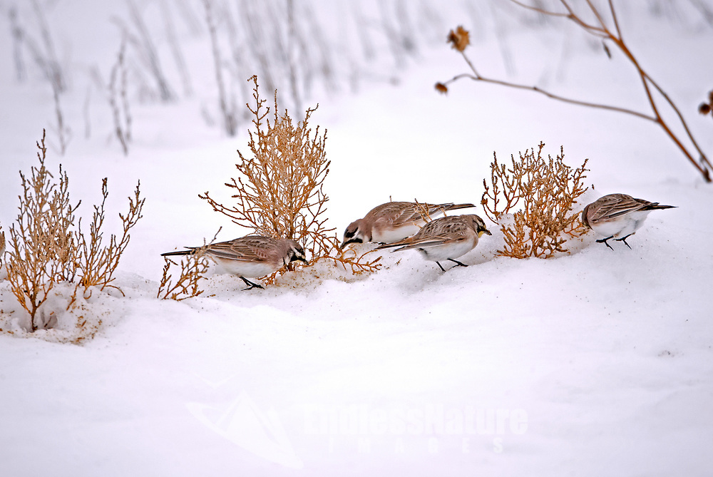 A group of Horned Larks feed on the tops of salt grass after a winter snow storm.