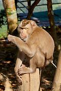 Laos, Luang Prabang Province. A macaque (monkey).