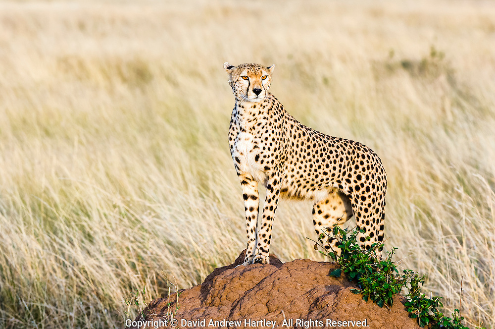 Cheetah (Acinonyx jubatus) standing on top of a termite mound, Masai Mara National Reserve, Kenya