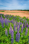 Wild Lupine blooming along the road on the edge of furrowed potato fields; Prince Edward Island, Canada.