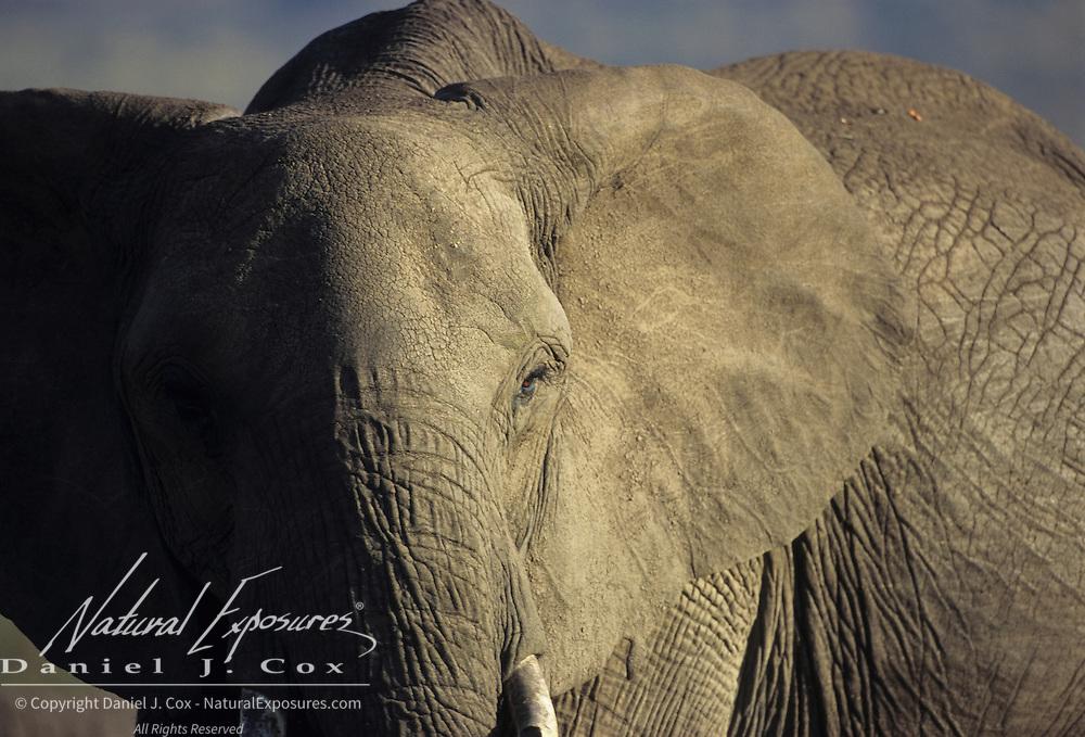 African Elephant (Loxodonta africana) close-up portrait. Kenya, Africa