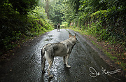 Two Northern Inuit dogs stare at one anothern along a road in Northern Ireland, UK.