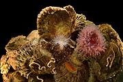 [captive] European flat oyster (Ostrea edulis) Reef. Common seasnail (Liparis liparis) a small marine fish, juvenile resting on European flat oyster | Europäische Auster (Ostrea edulis) Riff. Große Scheibenbauch (Liparis liparis), Jungfisch ruht auf einer Auster.