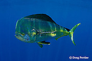 mahi-mahi, dorado, or dolphin fish, Coryphaena hippurus, large bull ( male ) in golden color phase, with copepod parasites, Louisiana, U.S.A. ( Gulf of Mexico ) (de)