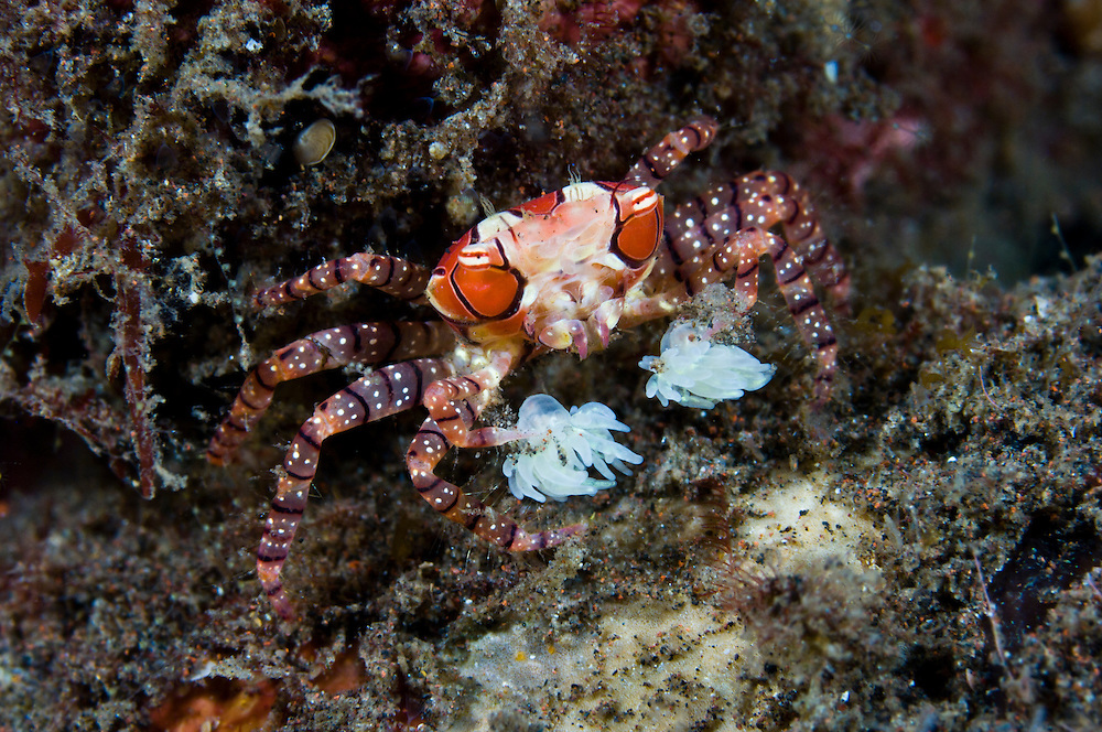 Boxer crab, Seraya, Bali, Indonesia. The boxer crab has a symbiotic relationship with a species of anemone.  The crab holds the anemones in its claws and uses them to ward off predators. Seraya is located on Bali's NE coast and has become very popular with divers and photographers searching for unusual species.  The signature site, 'Seraya Secrets' has a barren sand floor with small patches of sponge and other encrusting life, and rocks in the shallows. Bali is a very popular holiday destination for divers and offers a wide variety of different types of diving, from reefs and wrecks to mucks sites such as Puri Jati and Gilimanuk.