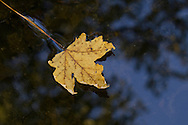Salisbury Mills, New York  - An autumn leaf floats in the Moodna Creek on Oct. 5, 2013.