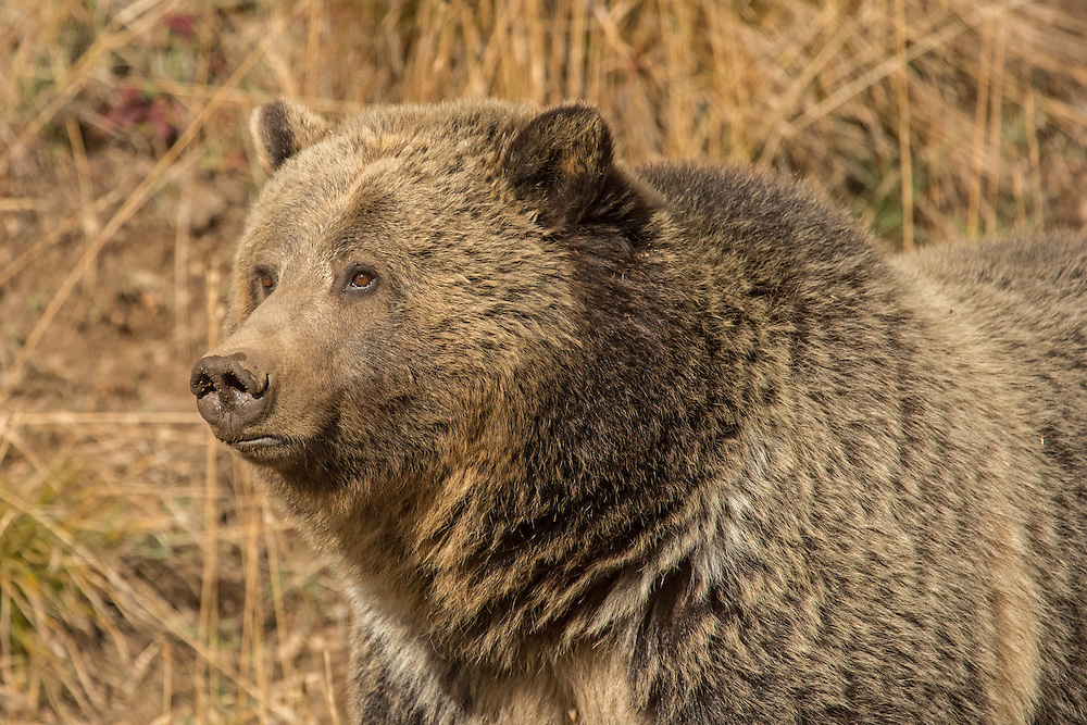 As the grass begins to turn a golden brown, Yellowstone's grizzlies must once again prepare for their winter hibernation.  Most grizzlies enter their dens in November where they will remain until the spring thaw.