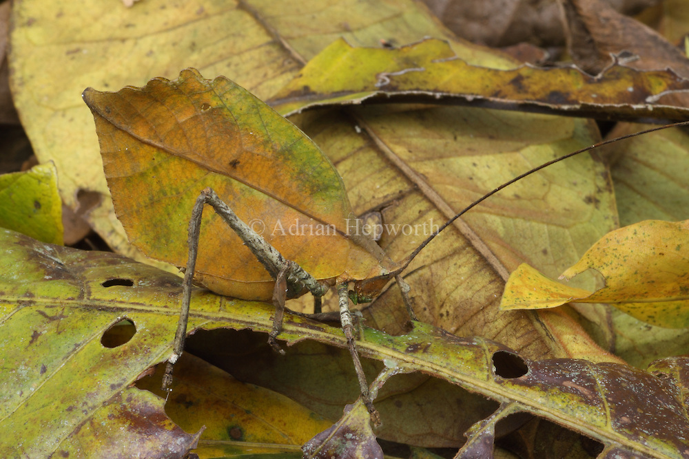 Leaf-mimic Katydid (Mimetica sp.) in rainforest, La Selva Biological Station, Costa Rica. <br />