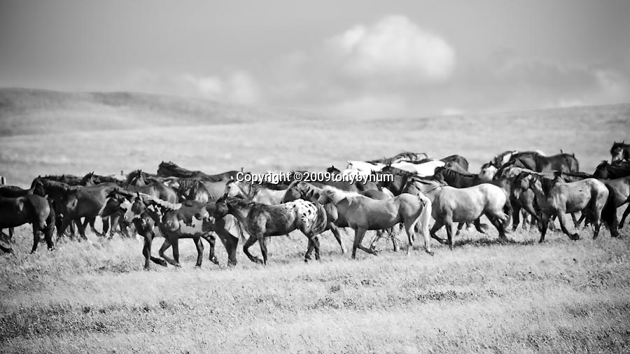 horses grazing under the watchfull eye of the horse boss