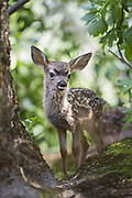 Black-tailed Deer<br /> Odocoileus hemionus<br /> One-week-old orphaned fawn<br /> Kindred Spirits Fawn Rescue, Loomis, California
