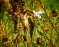 American Goldfinch. Image taken with a Nikon N1V3 camera and 70-300 mm VR lens