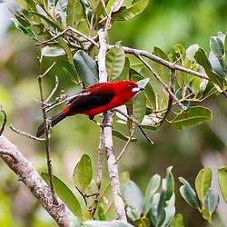 """""""Tiê-sangue (Ramphocelus bresilius) fotografado em Guarapari, Espírito Santo -  Sudeste do Brasil. Bioma Mata Atlântica. Registro feito em 2013.<br /> <br /> <br /> <br /> ENGLISH: Brazilian Tanager photographed in Guarapari, Espírito Santo - Southeast of Brazil. Atlantic Forest Biome. Picture made in 2013."""""""