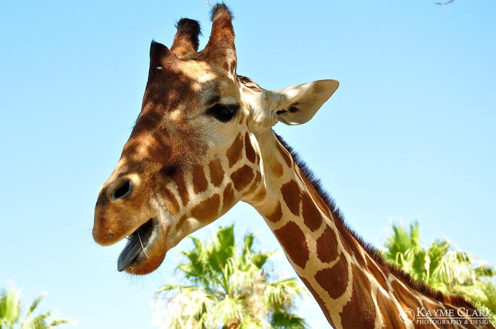 Reticulated Giraffe (Giraffa camelopardalis reticulata)