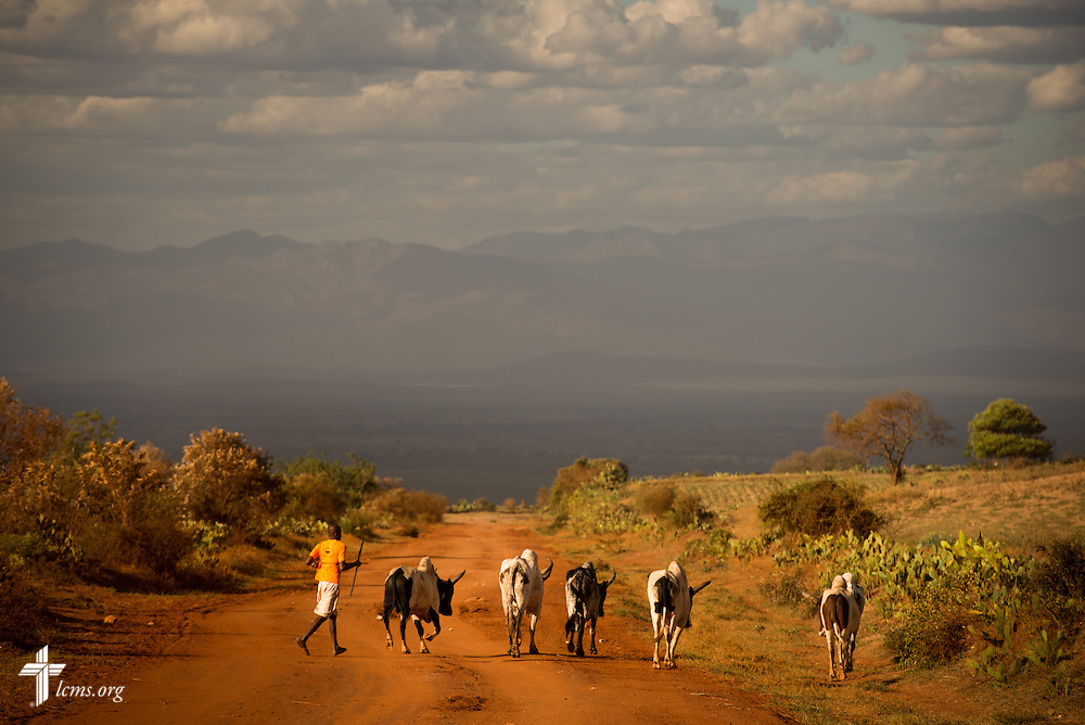 A man herds zebu in deep southern Madagascar on Monday, Oct. 20, 2014, in southern Madagascar. LCMS Communications/Erik M. Lunsford