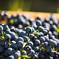 Baco Noir grapes.