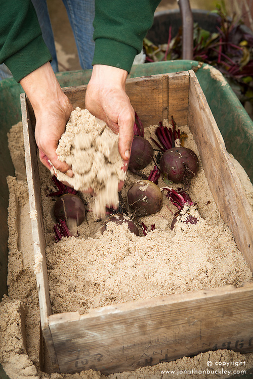 Storing beetroot. Placing in box on layer of sand and covering with more sand