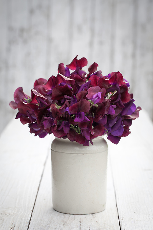 Lathyrus odoratus 'Black Knight' - sweet pea arrangement in small earthenware jar