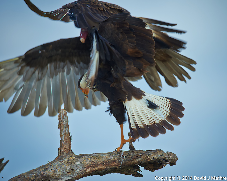 Turkey Vulture Vs. Crested Caracara at Campos Viejos Ranch in Southern Texas. Image taken with a Nikon D4 camera and 600 mm f/4 VR lens (ISO 450, 600 mm, f/5.6, 1/1250 sec).