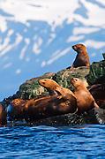 Alaska. Prince William Sound. Stellar Sea Lion (Eumetopias jubata).